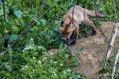 FoxSBahn-0048.jpg (mono-foto) Tags: wien tiere fuchs säugetiere