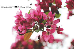 44/365 (JennaAbbottPhotography) Tags: flowers flower pinkflower 365 flowertree 365day 365dayproject
