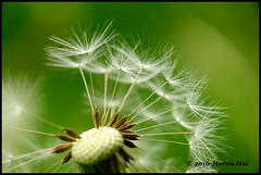 Weed Shooting - Calder XT3526e (Harris Hui (in search of light)) Tags: canada flower macro broken closeup vancouver spring weed focus fuji bc bokeh seed richmond dandelion depthoffield sidewalk fujifilm 60mm neighbourhood makeawish gettingcloser onthesidewalk xt1 fujix mirrorless shootlow harrishui vancouverdslrshooter fujixseries digitalmirrorlesscamera fujixcamera fujixf60mmf24r fujixt1 fujixambassador fujifixedlens getdowntoyourknees