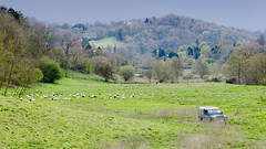Sheep, shepherd and sheepdogs in English countryside (Ian Redding) Tags: trees england dogs field car animals rural forest woodland countryside sheep 4x4 britain shepherd farm farming sheepdog flock somerset hills vehicle british farmer bordercollie wiltshire landrover borzoi herding