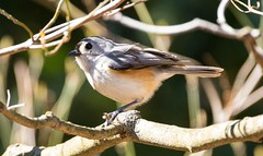 7K8A3861 (rpealit) Tags: park new bird nature scenery wildlife jersey titmouse tufted