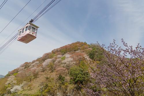 吉野桜 / Cherry Blossoms in Yoshino