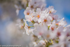The cherry blossom of 2016, part 2/3 (JdJ Photography (www.jdj-photography.nl)) Tags: city shadow sun sunlight haven west holland tree netherlands leaves amsterdam work europa europe day afternoon bokeh harbour nederland sunny boom depthoffield cherryblossom daytime blaadjes dag job schaduw mokum continent zon province stad werk lunchbreak noordholland zonlicht middag baan benelux amsterdamwest randstad kersenbloesem zonnig provincie northholland scherptediepte overdag lunchpauze hornweg havenswest