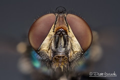 Fly (Karlgoro1) Tags: color macro eye texture field animal closeup canon bug insect eos fly photo eyes focus bright bokeh head background stack 7d depth f28 stacker mpe 65mm explored zerene macrolife
