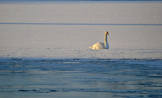 Sunbathing in -24°C. Mute swan. #Finland #Winter