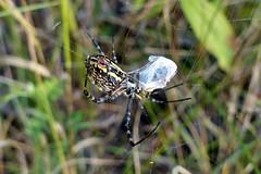 Argiope trifasciata (aurelienouri) Tags: spider araigne arachnide
