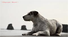 Hendaye 2014 (photographe9164) Tags: chien dogs model sable bull shooting canon5d paysage plage rocher cadre biarritz dax vacance sud ete regard facebook chasse jumeaux hendaye dressage terier frontiere sudouest femelle bullterier epagnole photographyantunesd plagedes2jumeaux