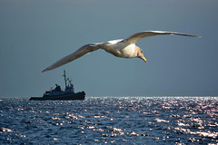 Sea Life (swong95765) Tags: ocean life sea sky beauty solitude ship seagull gull simplicity complexity ambiance