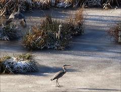 Winter am Waldteich (1) (peterphot) Tags: sony eis wildanimals reiher graureiher wildtiere tamron600