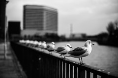 Pondering Gulls (*Tim Grey) Tags: city urban blackandwhite bw seagulls white black bird birds japan fauna canon eos 50mm kyoto dof bokeh mark f14 seagull iii 14 ngc 5d osaka canon5d shallow usm 12 f18 18 50 ef blackand fifty disctrict f12 nifty andwhite japankyoto buisness markiii blackandwhitebw birdbirds whitebw bwbw osakajapan niftyfifty cityurban blackandwhitebwbw 5dmark canon5dmark 5dmkiii canon5dmarkiii 5d3 5dmarkiii