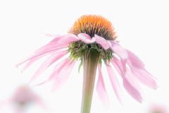 pink skirt (JimfromCanada) Tags: pink summer sun ontario flower detail garden haze stem nikon soft echinacea hamilton sunny petal coneflower below d800 ancaster jimsmith jimfromcanada