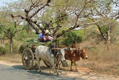 Bagan: quotidien des Birmans (ee) Tags: temples myanmar campagne bagan birmanie charrette paysans arachide cacahutes pagodes asiedusudest buf terriens patrimoines trsorsdebirmanie