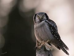 I'm looking at you... (MatsOnni) Tags: birds owls linnut northernhawkowl surniaulula pöllöt hiiripöllö