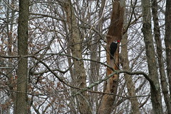 Pileated woodpecker aka Woody (mom and pops1) Tags: natureinwinter