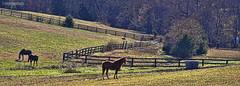 Zee Fence (creepingvinesimages) Tags: horses outdoors virginia nikon farm fences hills pasture fields topaz autofocus hff albemarlecounty d7000 pse11