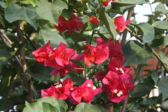 IMG_1291.CR2 (dernst) Tags: trinitarias bougainvilleas