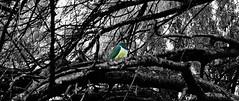 Kereru (stickersattackface) Tags: wood color colour bird native pigeon splash kereru