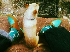 New Hush Puppies (1958-style) and Old Chihuahua Puppy (vintage 2003) (EllenJo) Tags: dog pet chihuahua shoes colorful floyd hushpuppies february10 2016 1950sstyle ellenjo ellenjoroberts turquoiseandcamel 1958style