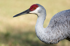 Sandhill Crane (Melis J) Tags: holiday bird unitedstates florida crane wildlife sandhillcrane gruscanadensis