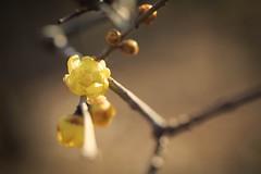 Wentersweet (Jien Tohr) Tags: winter plants flower wintersweet