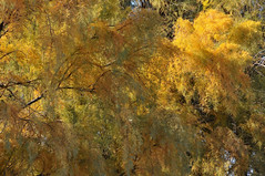Colorful Fall Salt Cedar 4288x2848 (Charlotte Clarke Geier) Tags: wallpapers screensavers