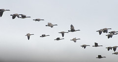 Bye bye flyby (Tim Brown's Pictures) Tags: winter snow birds animals flying maryland fowl canadageese southernmaryland stmaryscounty timbrown leonardtownmd bretonbay