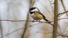 Chickadee (iPhilFlash) Tags: ca canada bird nature animal animals outdoors outdoor britishcolumbia wildlife richmond chickadee blackcappedchickadee wildbirds