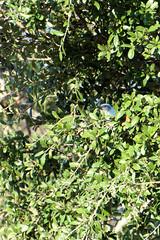 Modrowronka kalifornijska | Western scrub jay