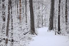 """The White Forest"" Hamilton (Joseph Hollick) Tags: white snow tree hamilton snowcovered whiteforest"