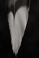 Heart-Shaped Feather (j.towbin ©) Tags: bw macro texture monochrome lines heart feather macromondays dsc6975 allrightsreserved©