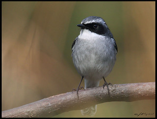 Grey bush chat