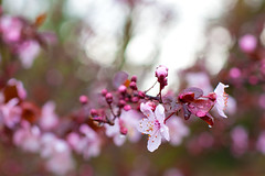 2/27/16 - Spring is Coming (camknows) Tags: flowers plumblossoms