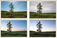 2nd 4 Months of 2015 (local37) Tags: park tree june may july august nosehill 2015