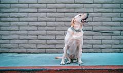 L1001457 (jiaxu he) Tags: california leica dogs 50mm labrador yellowlab newportbeach konica yami orangecounty m9 mhexanon