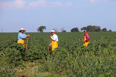 Cotton Choppers Mexican workers hoe the weeds out by hand 4288x2848 (Charlotte Clarke Geier) Tags: wallpapers screensavers