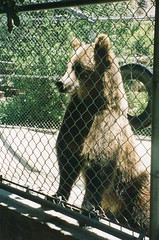 Grizzly bear, Wildlife Waystation (Animal People Forum) Tags: bear brown animals wildlife bears grizzly captive mammals captivity brownbear grizzlybear waystation wildliferehabilitation wildlifewaystation