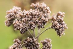 Oregano-Blüten vom letzten Jahr - last years oregano blossoms (ralfkai41) Tags: plants macro blossoms pflanzen blumen dried oregano kräuter samen naheinstellung
