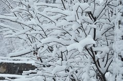 each branch (caboose_rodeo) Tags: winter favorite plants snow haiku shrubs 41 snowcovered itssnowing