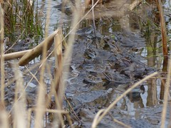 Common Frogs (ukstormchaser (A.k.a The Bug Whisperer)) Tags: uk water animal animals reeds pond group amphibian frog frogs february milton keynes common frogspawn