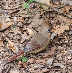 IMG_2924-Cardinal (jnecr) Tags: cardinal
