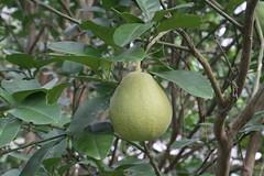 Liuzhou/ - Citrus maxima/Pomelo/ 3653 (Petr Novk ()) Tags: china plant tree fruit asia asie citrus  strom   guangxi pomelo liuzhou  cultivated rutaceae shaddock    rostlina   citrusmaxima na