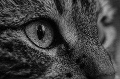 Close up (Ben Duursma) Tags: white black detail macro reflection texture monochrome face up contrast cat fur eyes nikon feline close ben character young sigma seeing sight youngphotographers duursma d7000