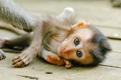 Monkey forest (Evgeny Drokov) Tags: bali indonesia id january ubud 2016
