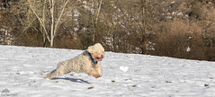 Mark Twain Having Fun With A Snow Ball  (Xena*best friend*) Tags: pet pets snow dogs animals speed puppies flickr mt piemonte attentive clever marktwain pedigree intelligent waterdog snowdogs tartufo enci snifferdog fullspeed lagotto dogsinaction tartufi retrieverdog canedatartufo lagottoromagnolo dogshavingfun trufflehunter atfullspeed piedmontitaly affecionate allrightsreserved canonef70300mm canoneos500d dogsinthewhitestuff lagottoromagnolodogs lagottopuppies waterretrievingdogs trufflesniffer dogsplayinginthesnow acquaticdog excellentsenseofsmell eosrebelt1i greatcompanionforchildren retrievertrufflesdog theonlybreedofdogthatisofficiallyrecognizedasspecializedintrufflehunting canidariporto canidacerca canidaacqua hypoallergeniccoats dubaideisilvanbull dogsjumpinginthesnow