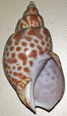 Babylonia japonica (Japanese babylon snail) 2 (James St. John) Tags: shells japanese shell snail snails japonica babylon gastropod gastropods babylonia