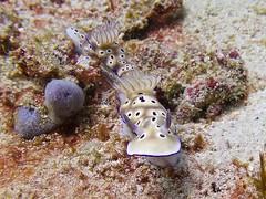 Nudibranch 2 (someofmypics) Tags: vacation philippines bikini manila scubadiving wickedweasel ikelite panasonictz60