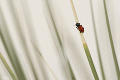 Aposematic (ggallice) Tags: red white newmexico southwest sand desert whitesands dunes beetle coleoptera whitesandsnationalmonument aposematic warningcoloration