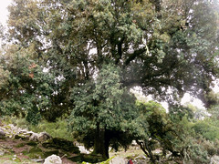 Ikaria's remotest hinterland 19 - the biggest holm oak (angeloska) Tags: tree hiking ikaria aegean greece february holmoak pezi hinterland hikingtrails   langada   vrakades  opsikarias
