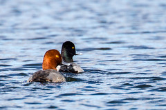 The Odd Couple (Lallee) Tags: bird nature water canon duck florida redhead scaup