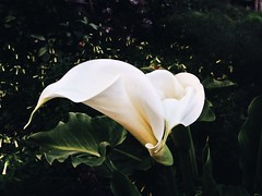 ( Black Orchid ) Tags: white flower green yellow garden lily callalily eolie lipari iphone5 vsco iphonography vscocam